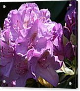 Rhododendron In The Morning Light Acrylic Print