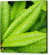 Rhododendron Leaves Acrylic Print