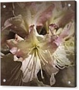 Rhododendron Mary Fleming Acrylic Print