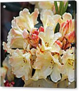 Rhododendron Nancy Evans Acrylic Print