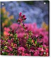 Rhododendron Pink Dream Acrylic Print