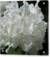 Rhododendron Purity Acrylic Print