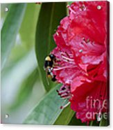 Rhododendron With Bumblebee Acrylic Print by Frank Tschakert