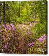 Rhodora Bloom In Acadia Acrylic Print