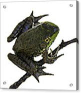 Ribbeting Frog In A Bucket Acrylic Print