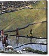 Rice Fields Acrylic Print