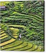 Rice Fields Vietnam Acrylic Print