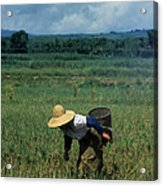 Rice Harvest In Southern China Acrylic Print
