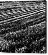 Rice Paddies Acrylic Print