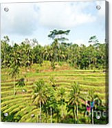 Rice Paddy Field Plantation Acrylic Print
