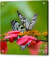 Rice Paper Butterflies Acrylic Print
