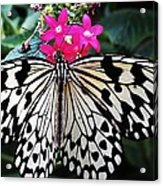 Rice Paper Butterfly On Pink Acrylic Print