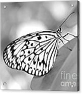 Rice Paper Butterfly Resting For A Second Acrylic Print