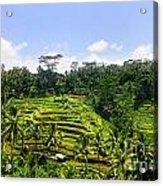 Rice Terrace In Bali Acrylic Print