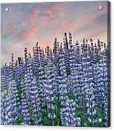 Ridge Of Lupine At Dawn Acrylic Print