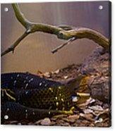Ridgenosed Rattlesnake 3 Acrylic Print