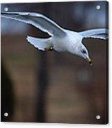 Ring-billed Gull Gliding Portraits 2 Acrylic Print