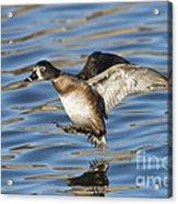 Ring-necked Duck Landing Acrylic Print