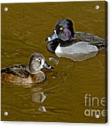 Ring-necked Duck Pair Acrylic Print