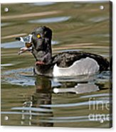 Ring-necked Duck Swallowing Snail Acrylic Print