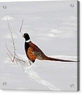 Ring Necked Pheasant Acrylic Print