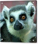 Ring Tailed Lemur-2 Acrylic Print