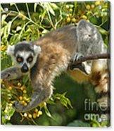 ring-tailed lemur Madagascar 1 Acrylic Print