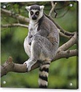 Ring-tailed Lemur Sitting Madagascar Acrylic Print
