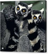 Ringtailed Lemurs Portrait Endangered Wildlife Acrylic Print