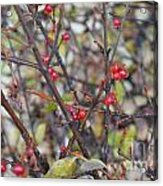 Ripe For The Picking Acrylic Print