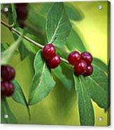 Red Berries Botanical Christmas Art Acrylic Print