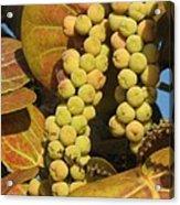 Ripe Seagrapes Acrylic Print