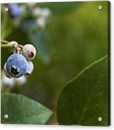 Ripening Blueberries Acrylic Print