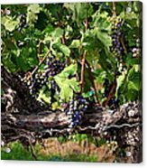 Ripening Grapes Acrylic Print