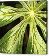 Rising Star The Mayapple Of Spring Acrylic Print