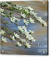River Dogwood Acrylic Print
