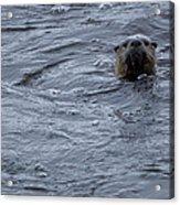 River Otter   #0695 Acrylic Print