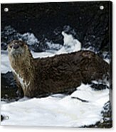 River Otter   #0978 Acrylic Print