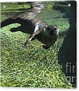 River Otter-7714 Acrylic Print