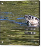 River Otter Acrylic Print by Julie Cameron