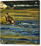River Otter On A Rock Acrylic Print