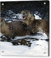 River Otters   #1030 Acrylic Print