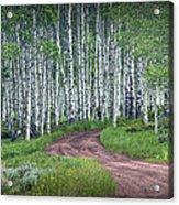 Road Through A Birch Tree Grove Acrylic Print