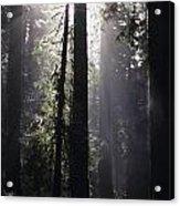 Road Through Redwoods Acrylic Print