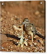 Roadrunner With Lizard Acrylic Print