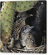 Roadrunners In Nest Acrylic Print