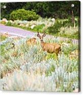 Roadside Buck Acrylic Print