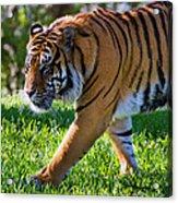 Roaming Tiger Acrylic Print