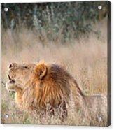 Roar Of The Kalahari Acrylic Print