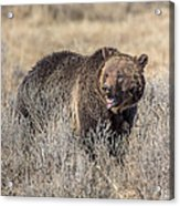 Roaring Grizzly Acrylic Print